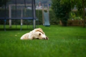 Why dogs eat grass, and it is bad?