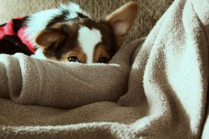 Puppy blankets, we listed the best ones for you!